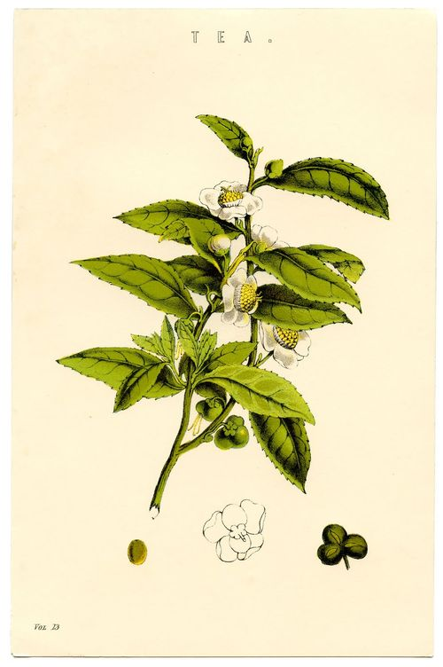 Botanicaltea-graphicsfairy003sm