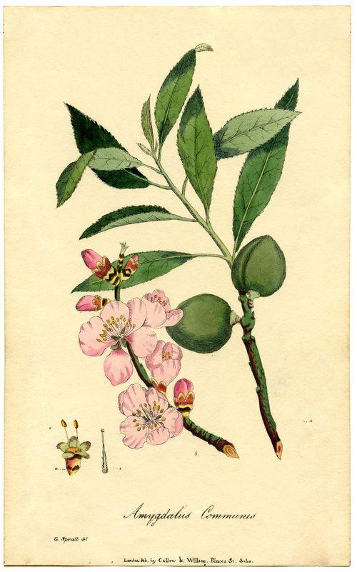 Botanical-Almond-Flower-Print-GraphicsFairysm