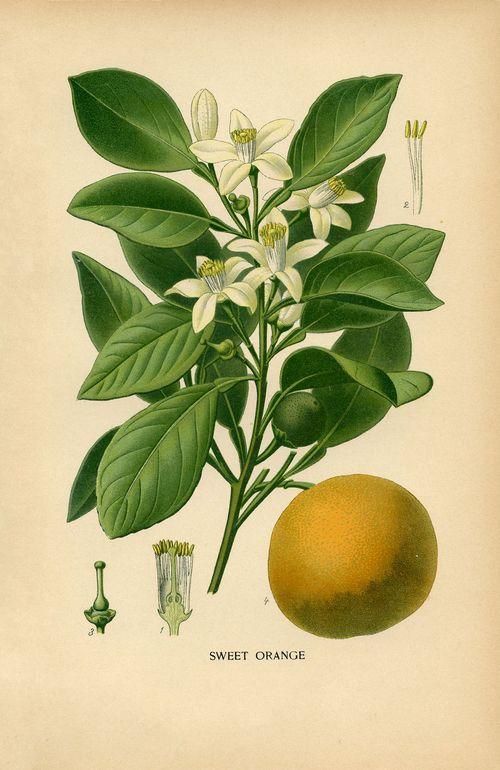 Vintage-Botanical-Print-Orange-GraphicsFairysm