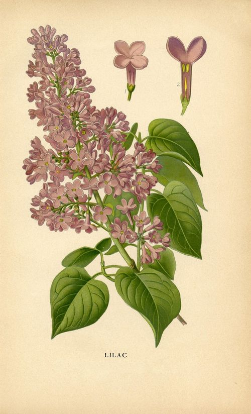 Vintage-Botanical-Printable-Lilacs-GraphicsFairy3