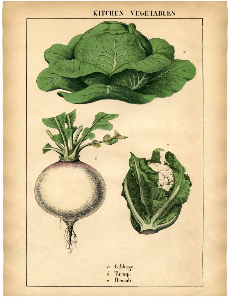 Botanical-Printable-Cabbage-GraphicsFairy-sm-791x1024