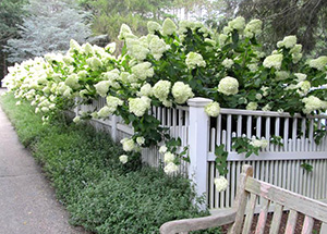 Joan_harrison-limelight Cape Cod Hydrangea Society