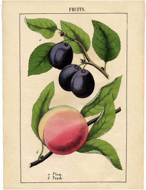 Vintage-Botanical-Fruit-Printable-sm-GraphicsFairy-791x1024