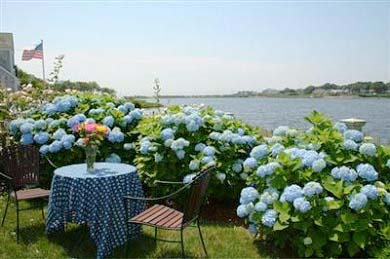 Hydrangeas We Need a Vacation